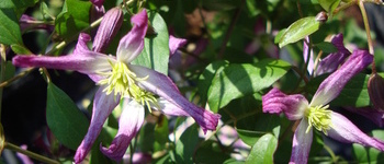Clematis x aromatica 1
