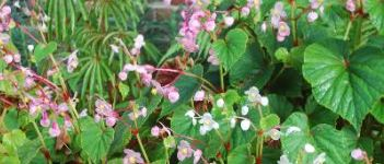 Begonia's in wit en roze